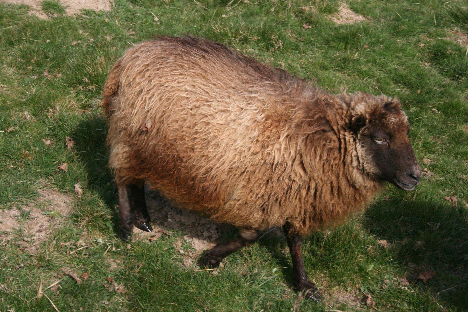 J'imaginais qu'un second agneau pourrait sortir durant la nuit de cette outre sur pattes en peau de mouton d'Ouessant...