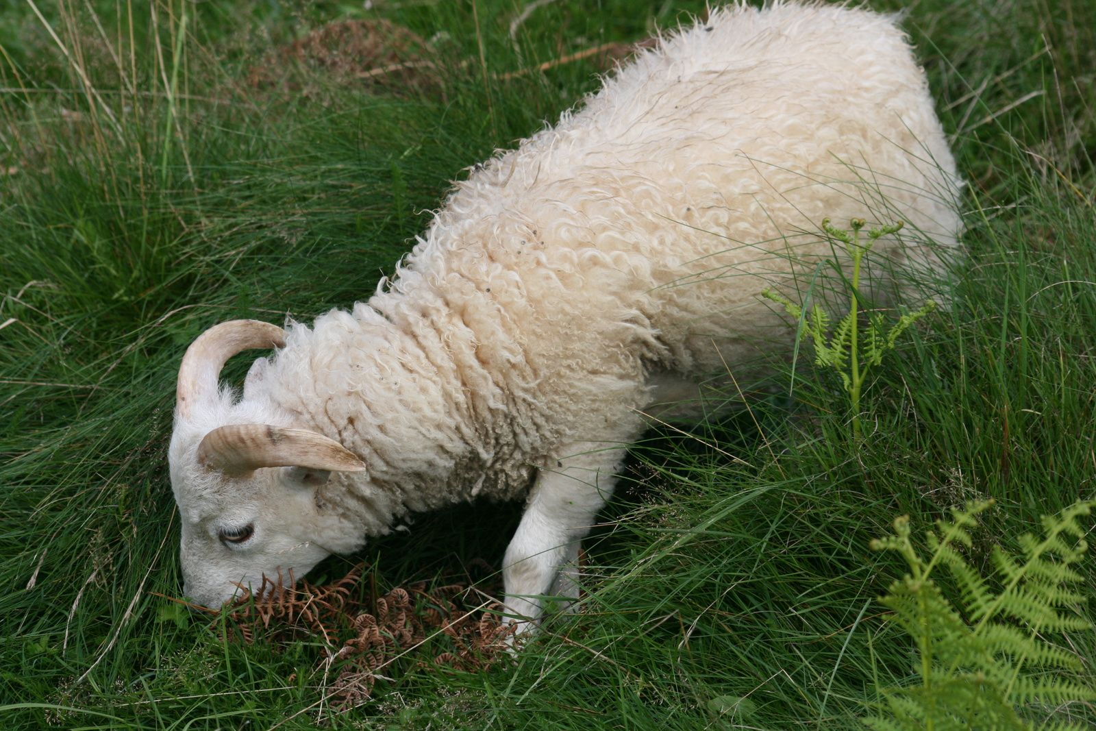 """Hercule (agneau d'un blanc intense comme sa mère bien qu'hétérozygote au locus Agouti et porteur donc du """"noir"""" en coloration cachée)"""