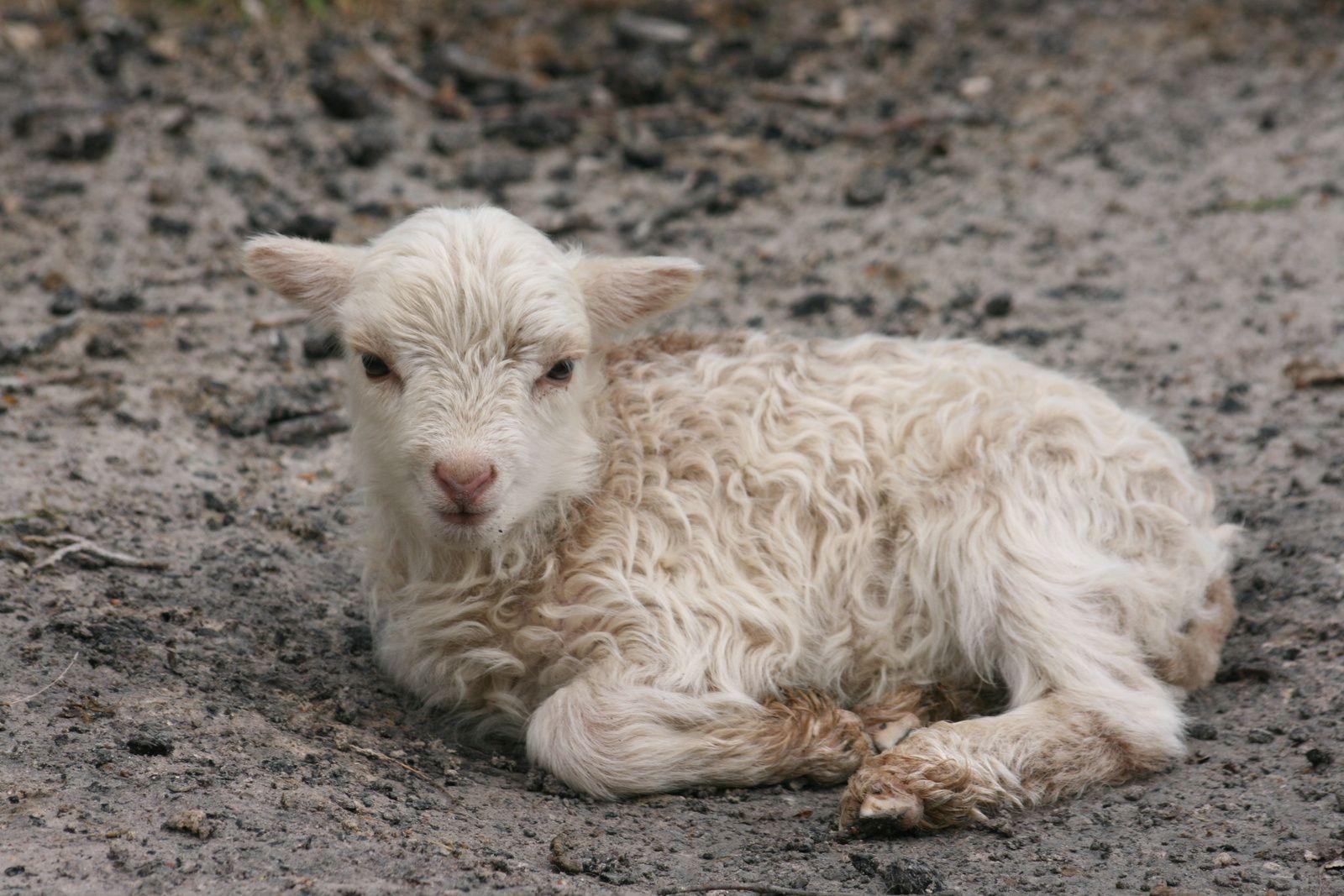 Un mouton blanc peut cacher et transporter bien des choses au niveau de la génétique des couleurs.....
