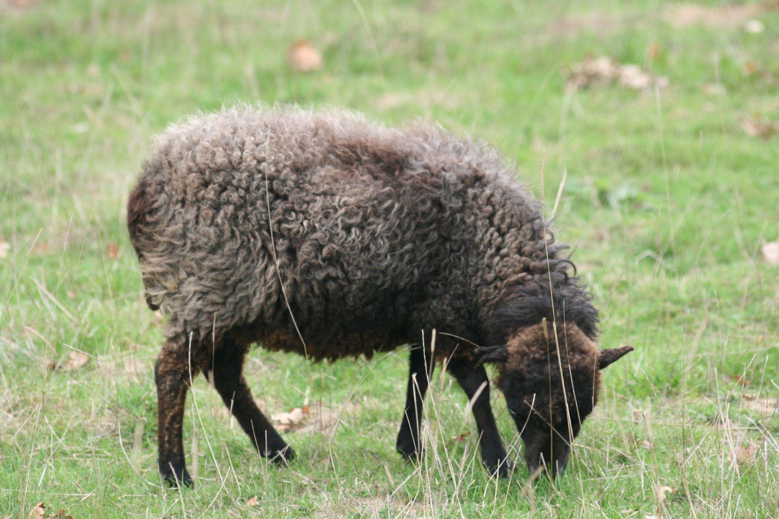 Chez les Lutins, accepter les différences.... (en photo, une brebis en laine, noire avec canitie)
