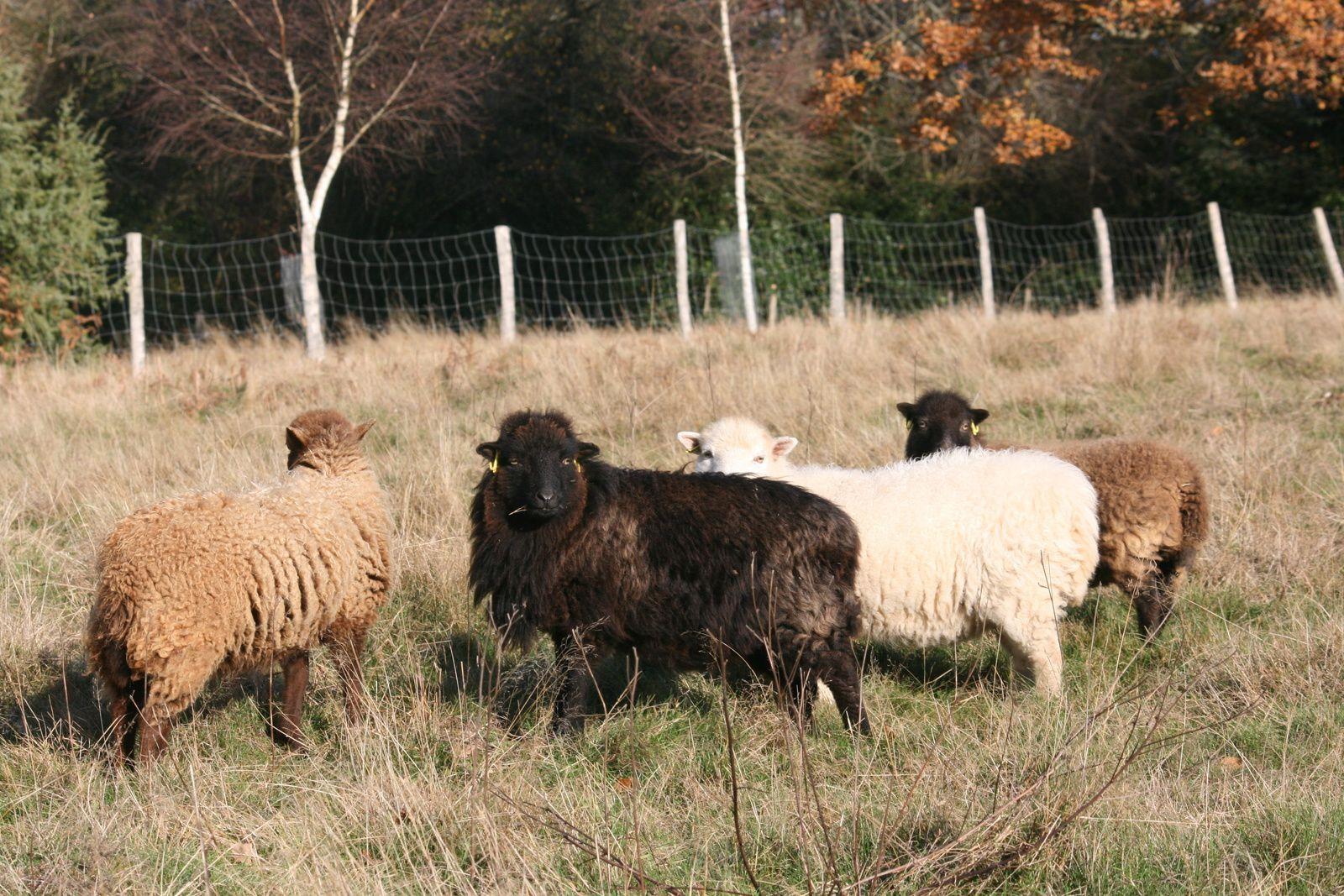 """Voilà la fin de cette galerie du jour. Tous les Lutins n'y sont pas, seules les vues les moins mauvaises ayant fini sur le net. J'espère que les amateurs de Ouessant auront autant de plaisir à """"voir du mouton"""" que je peux en avoir moi-même par ailleurs à l'occasion."""