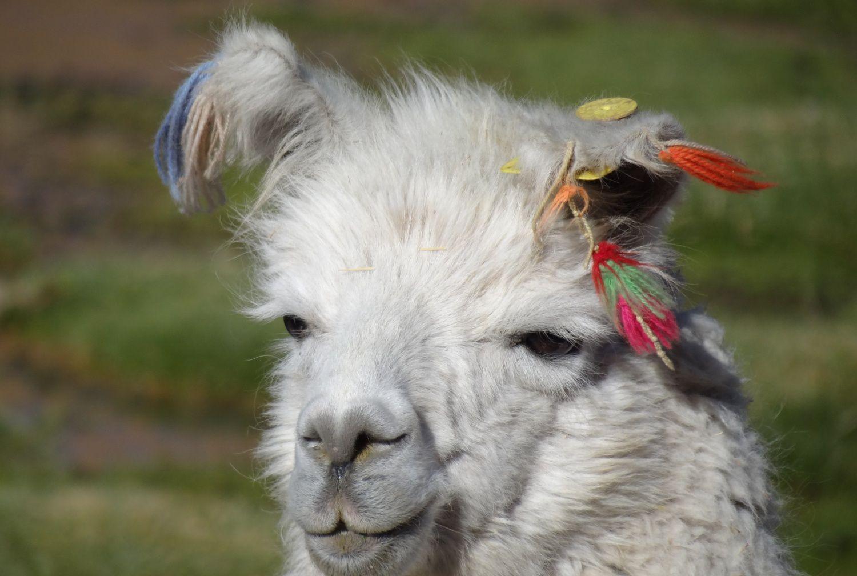 Lamas du village de Machuca (photos : Ori et Paul).