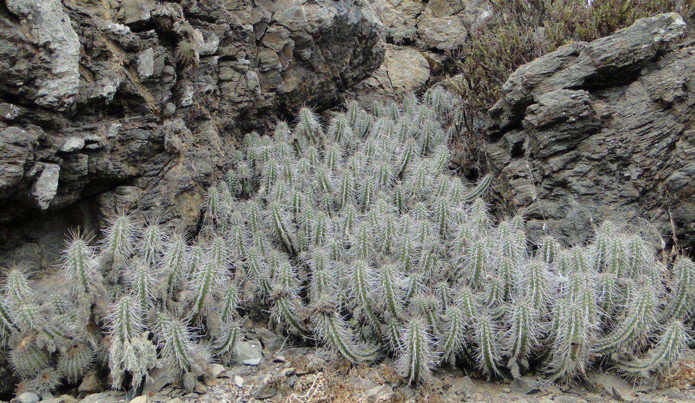 Echinopsis deserticola.