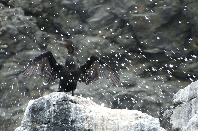 "Cormorán Vigua (""Corbeau de mer"", Phalacrocorax brasilianus)"