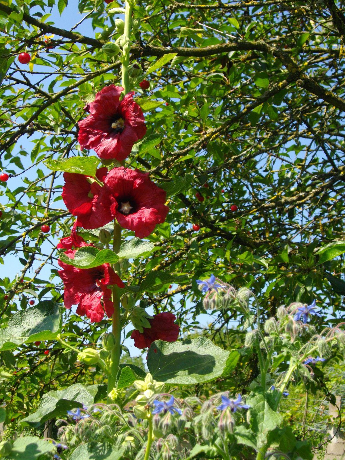 Roses trémières (Ne poussent jamais là ou on les attend)
