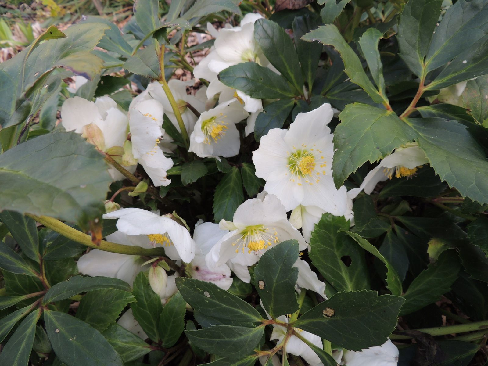 Hellebores blanches