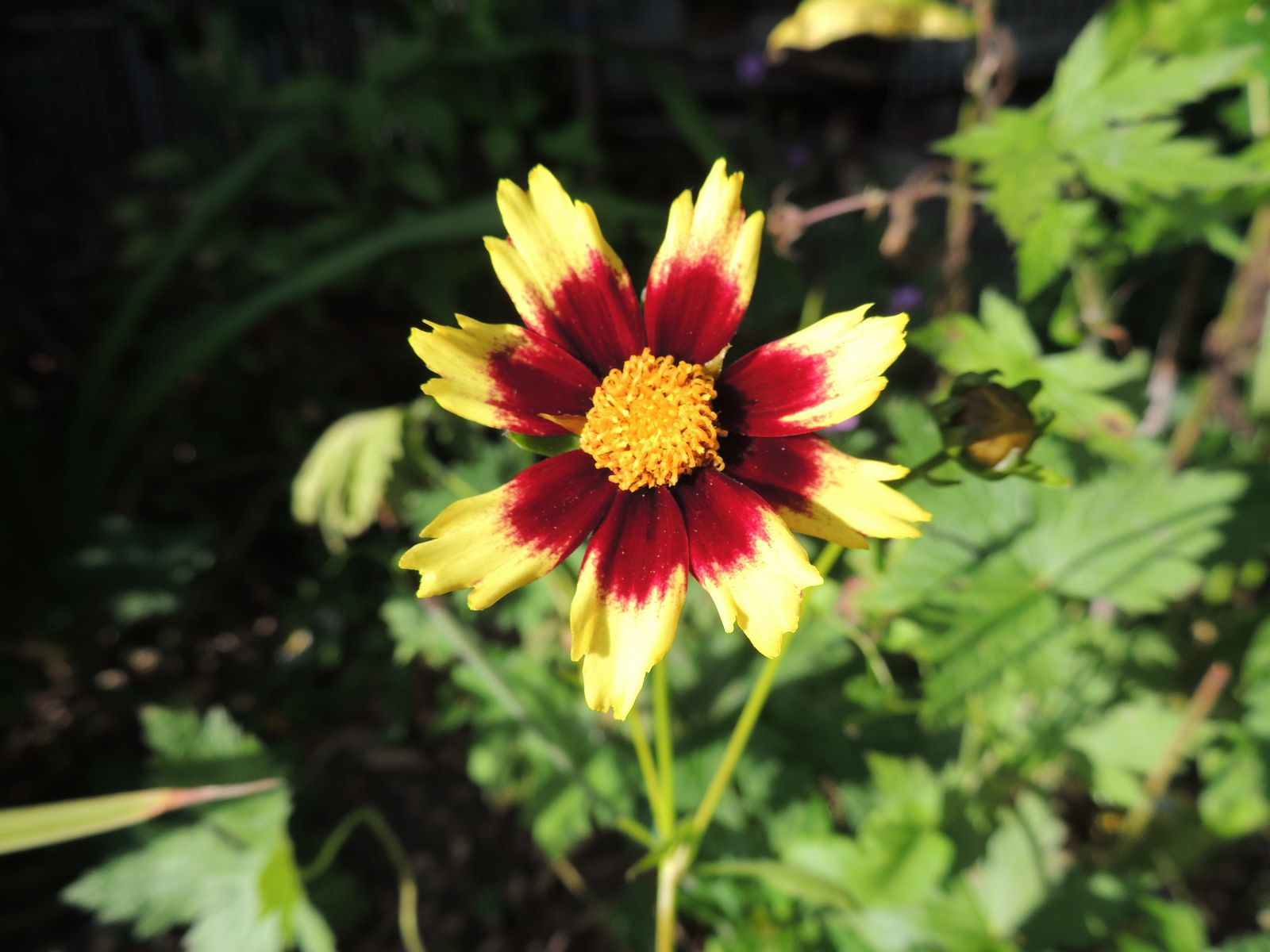 Coreopsis cosmic eyes