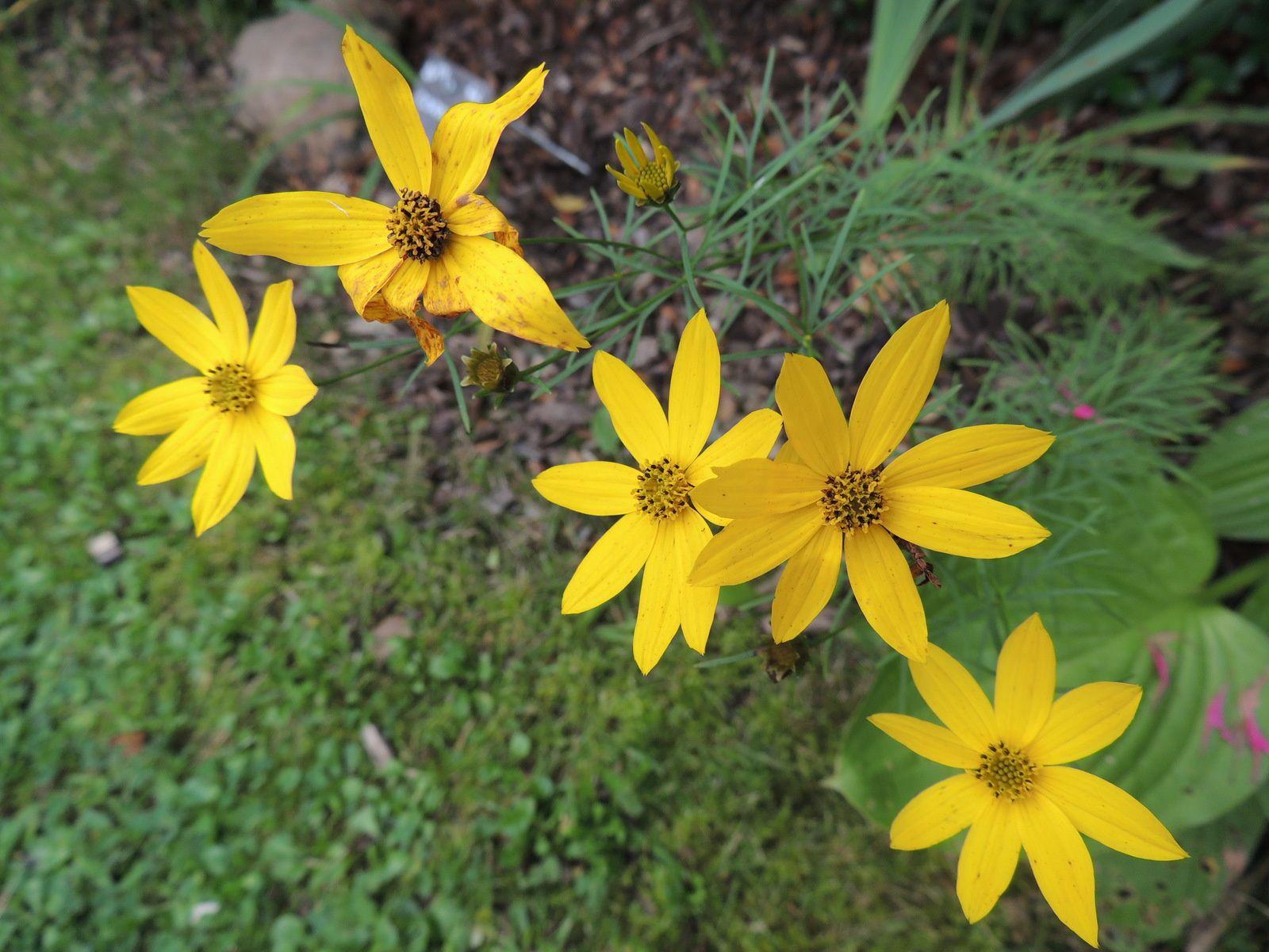 les coreopsis jaune