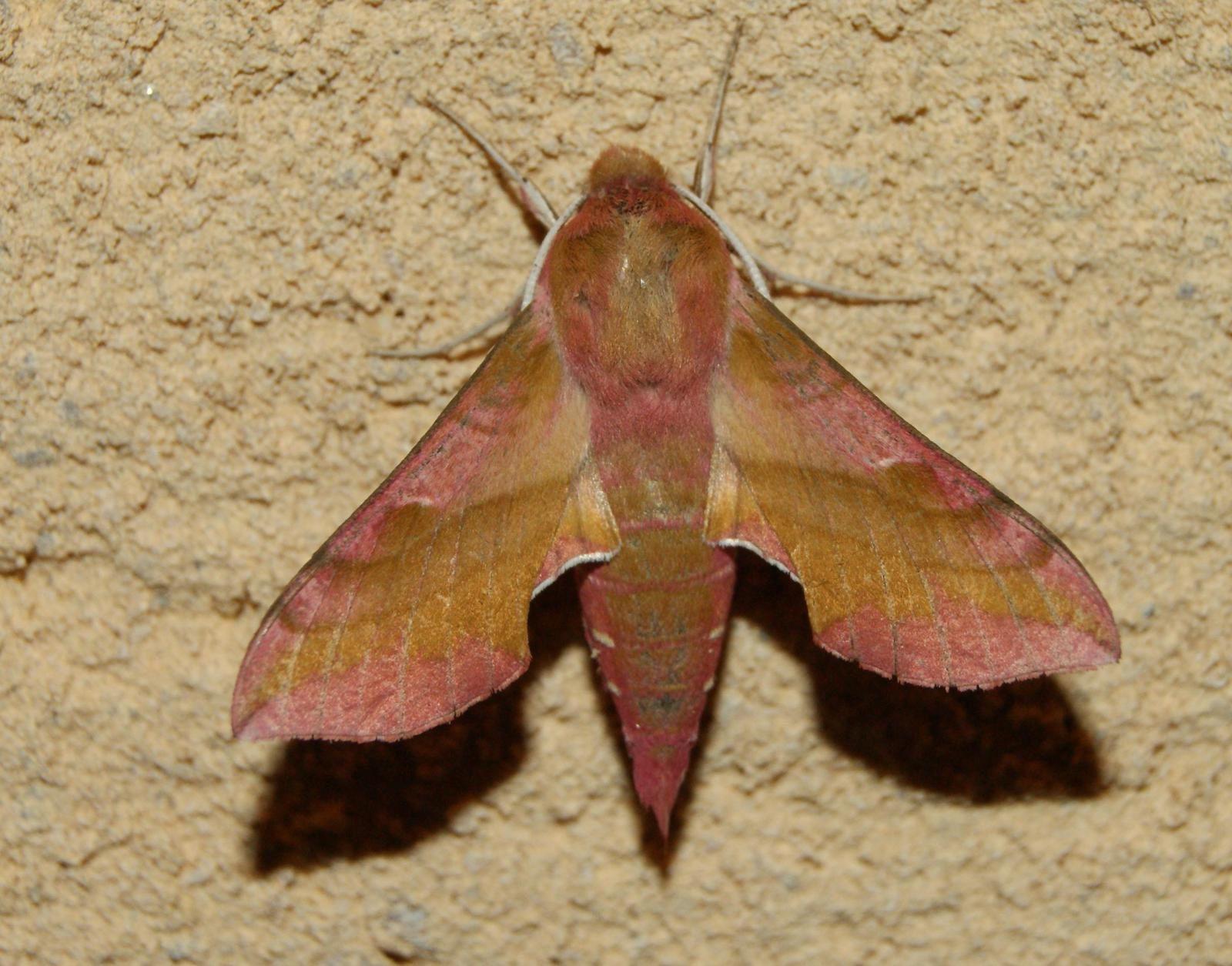 petit Sphinx de la vigne - Deilephila porcellus