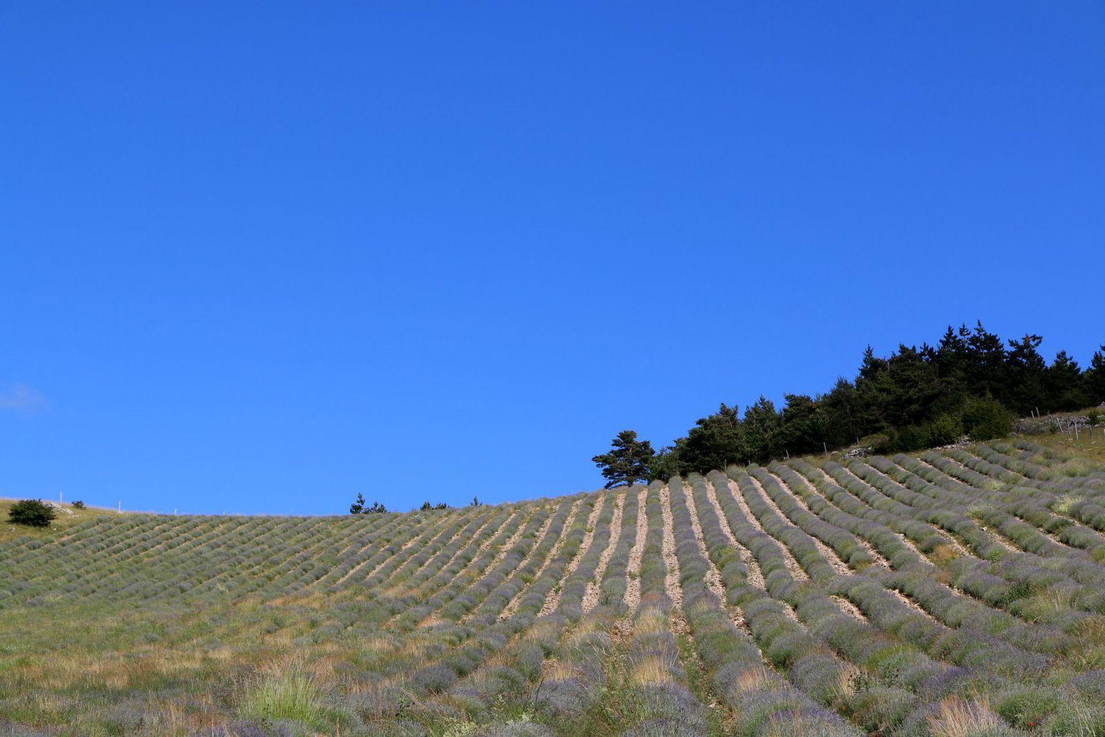 Un champ de lavande à 1 100 mètres d'altitude. Ciel bleu au sud.