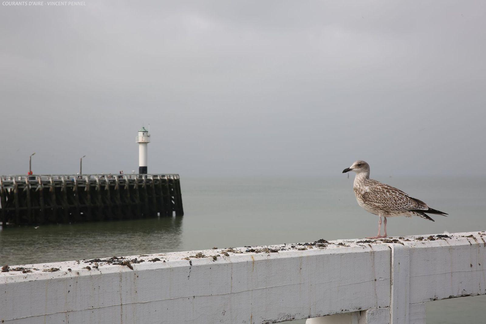 Un jeune goéland contemple l'estuaire de l'Yser.