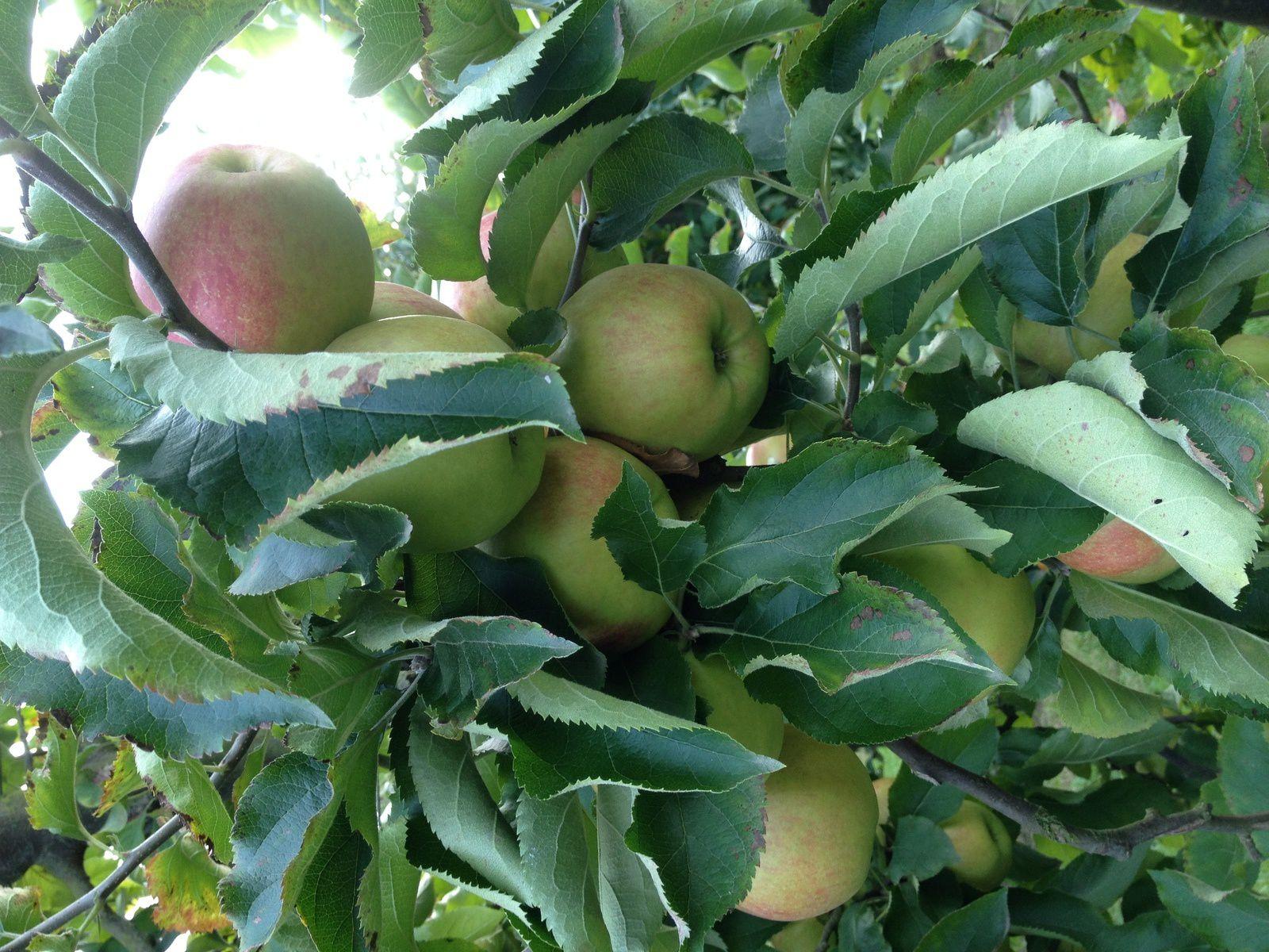 atelier d'automne #2: les pommes