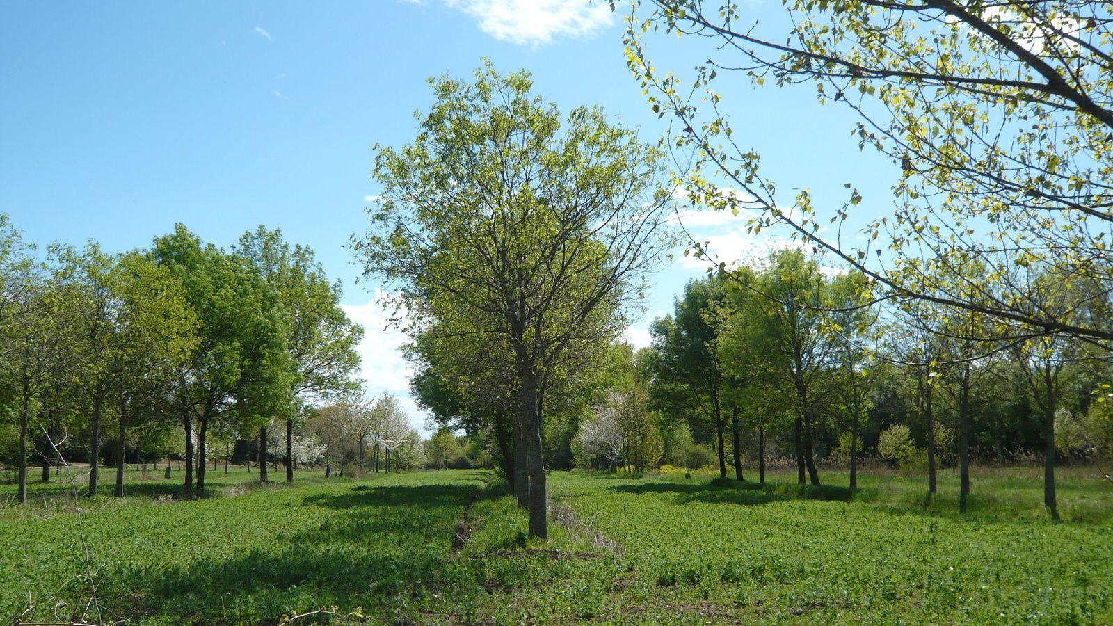 Parcelle agroforestière expérimentale - Domaine de Restinclières - Prades le Lez (34)