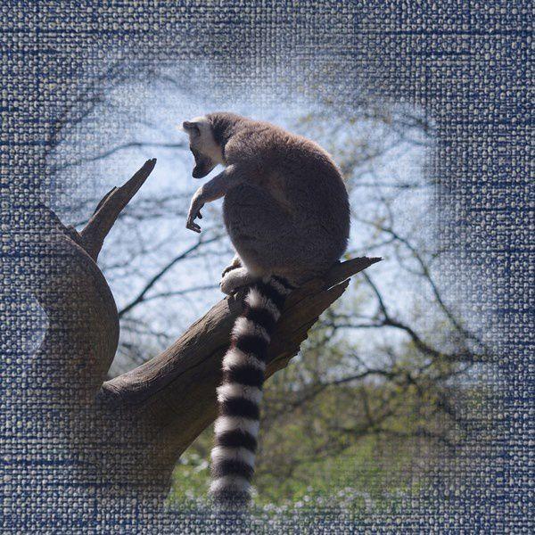 Lémurs et Lémuriens