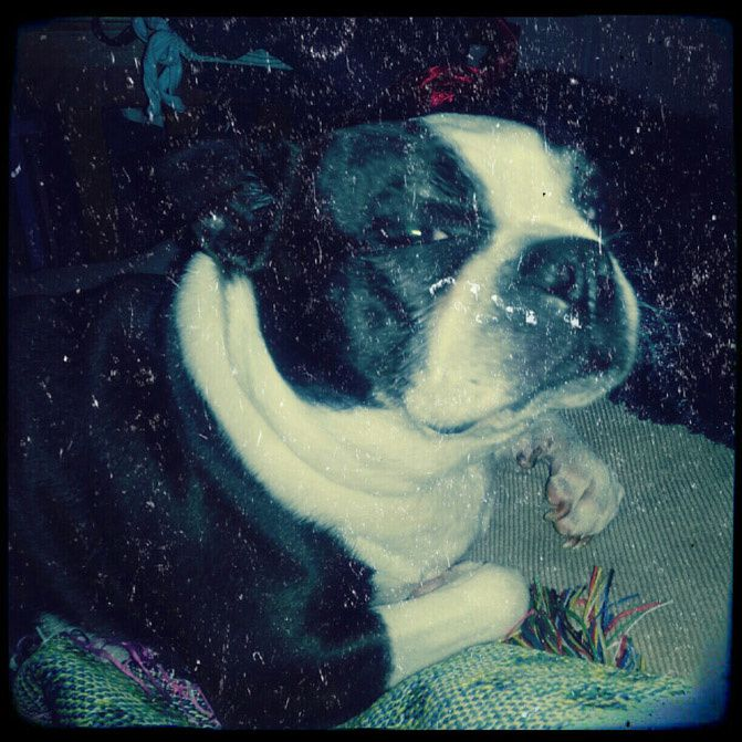 instagram, boston terrier, fashionchalet