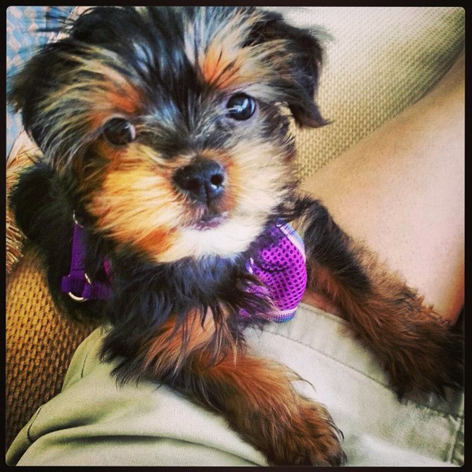 Miami Beach fashion, instagram fashionchalet, yorkshire terrier puppy