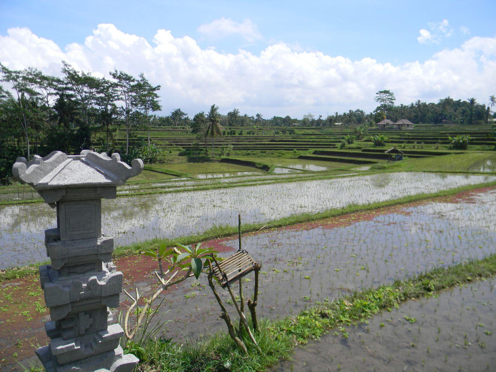 Notre promenade dans les rizières d'Ubud.