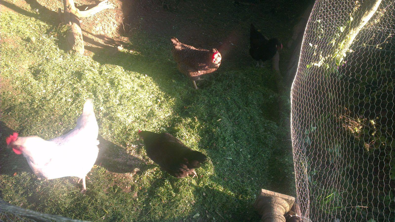 """Toutes nos poules ont un prénom en """"A"""": Lola, Fabiola, Valentina et Angelina!"""