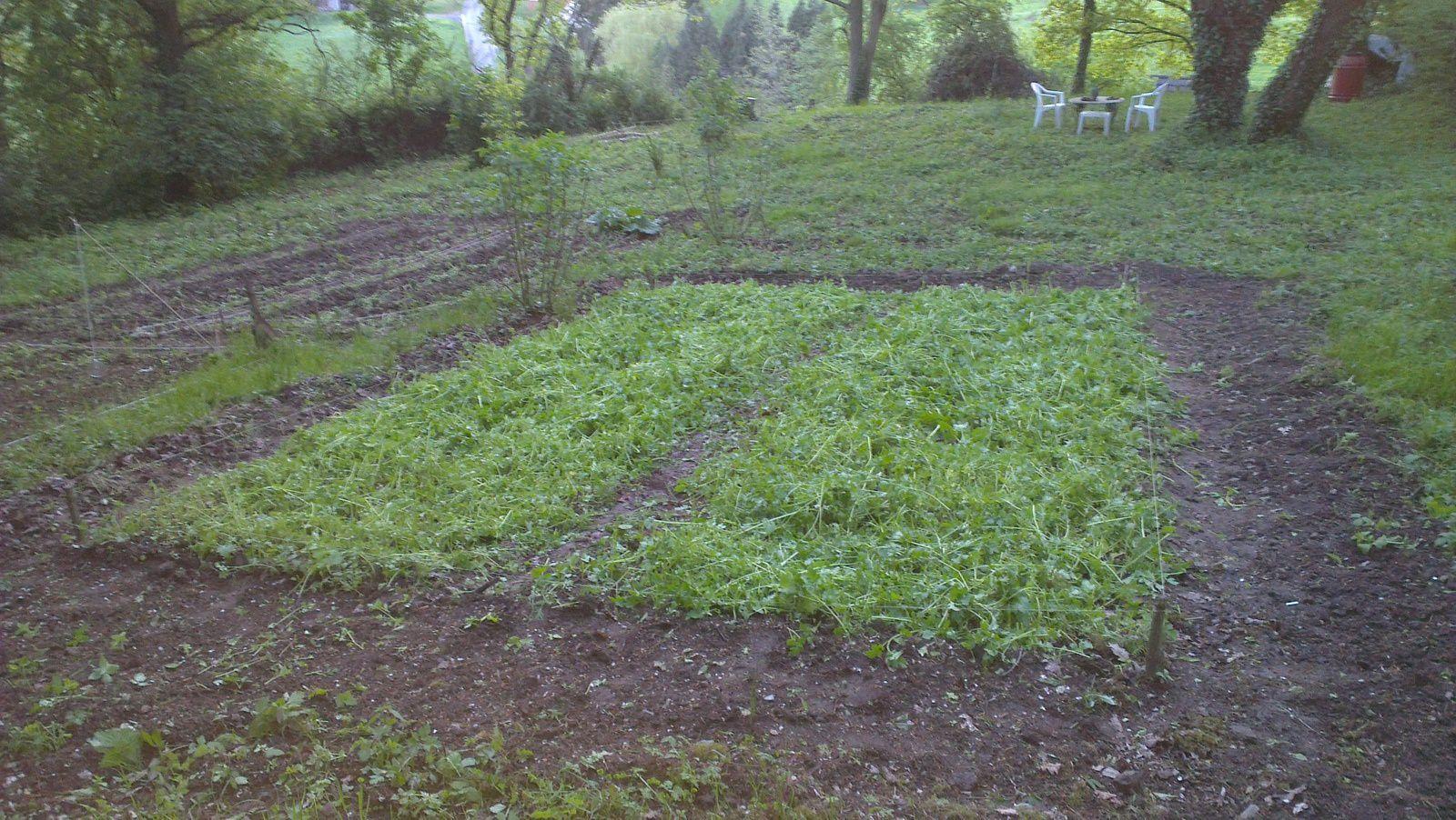 Pommes-de-terre &amp&#x3B; engrais verts