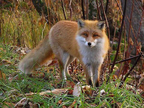 Utile ou nuisible , le renard ?