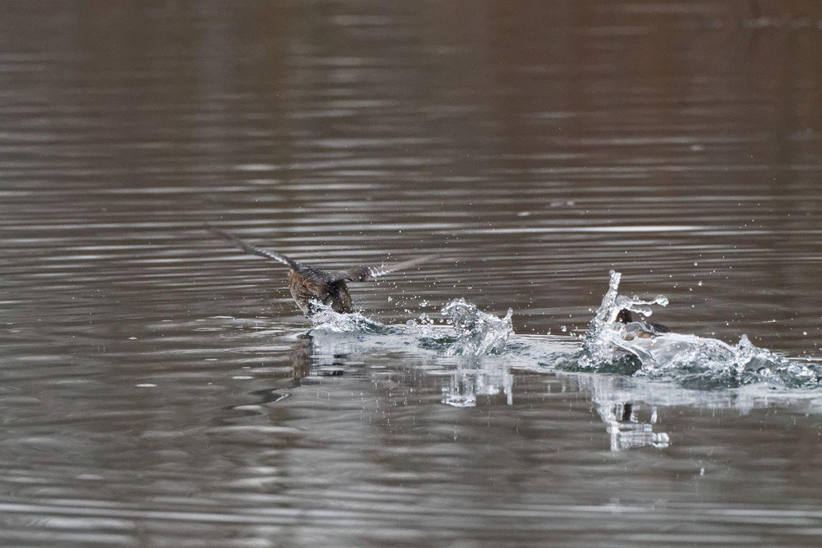 Une fois l'intrus parti les 2 Grèbes se congratulent et leurs séries de cris créent des ronds dans l'eau.