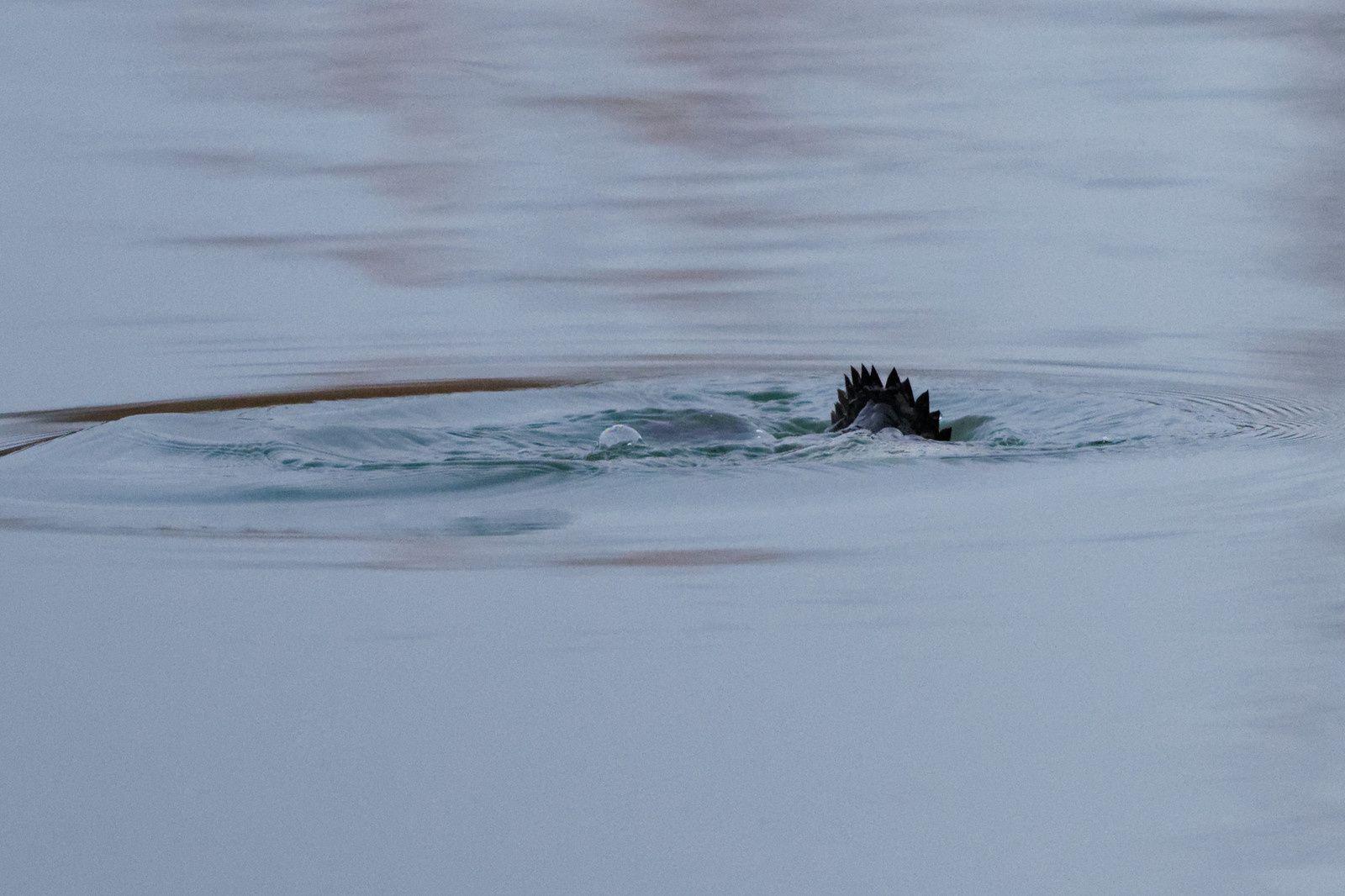 100 - Envol et plongeon : 11/01/2014