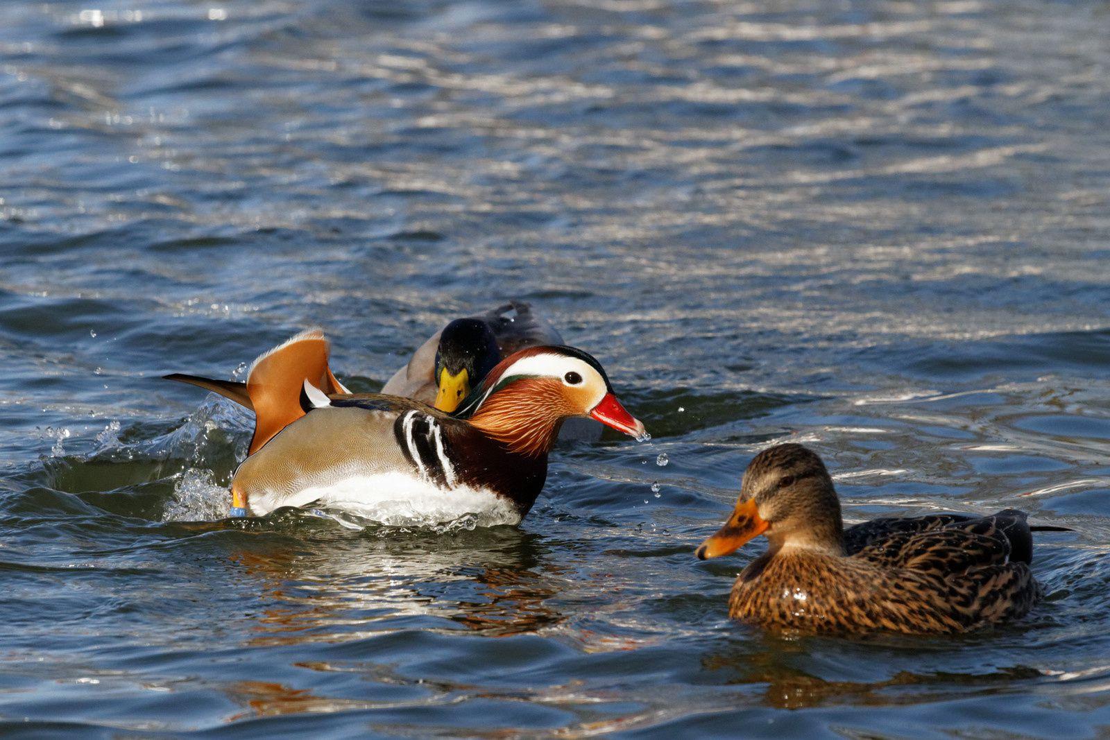 103 - Canards et Oies à Gagny : 26/01 et 02/02/2014