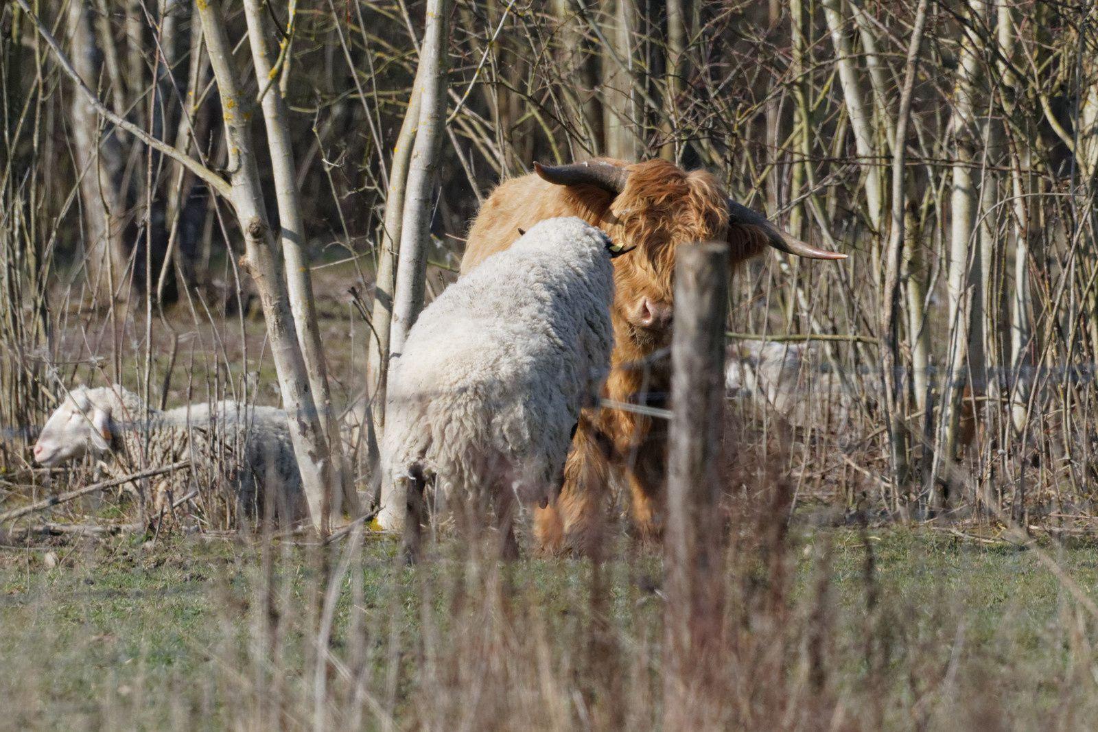 Sur ces quelques photos le mouton monte à l'assaut... Un sacré jeu entre copains !