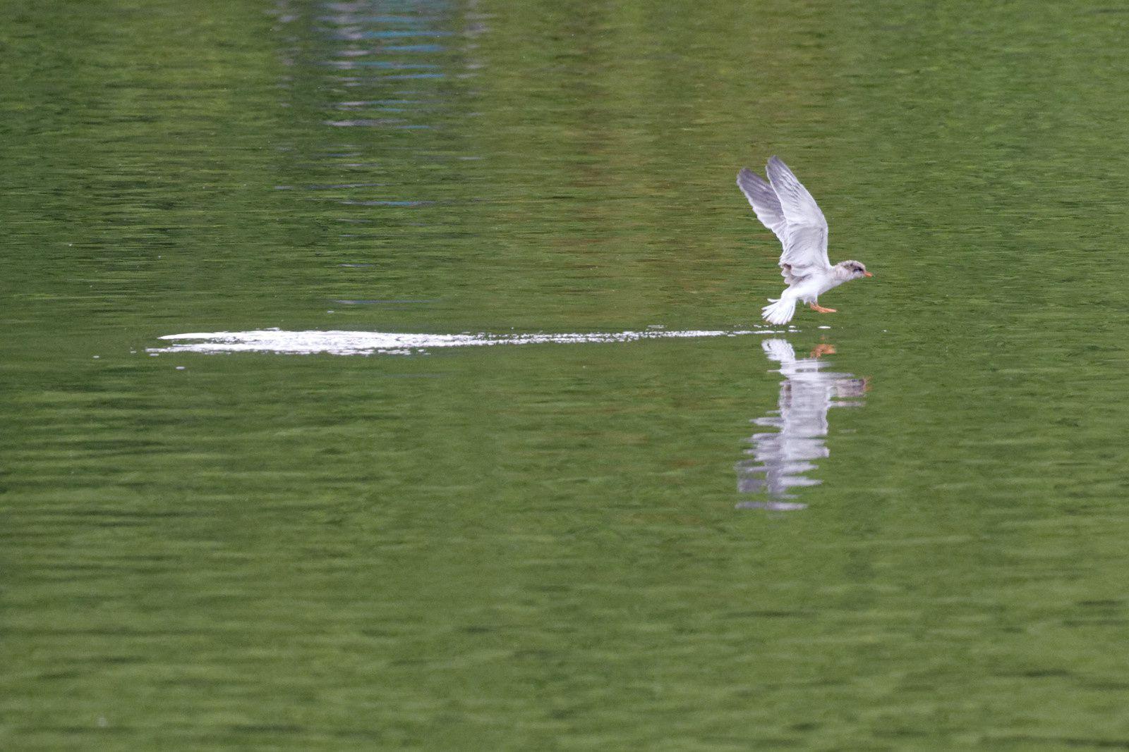 135 - Une avifaune bien installée au Sausset : 12/07/2014