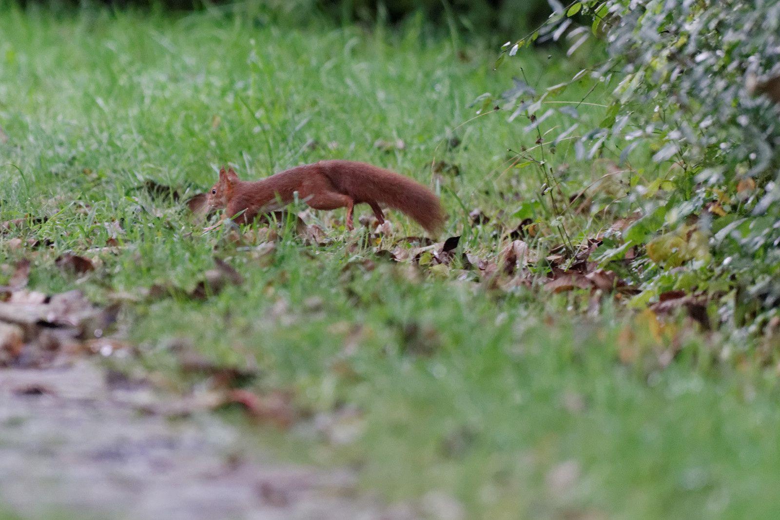 La courbure du dos laisse penser qu'il creuse un trou, une fois reparti la noix a disparu. Enterrée ou mangée ?