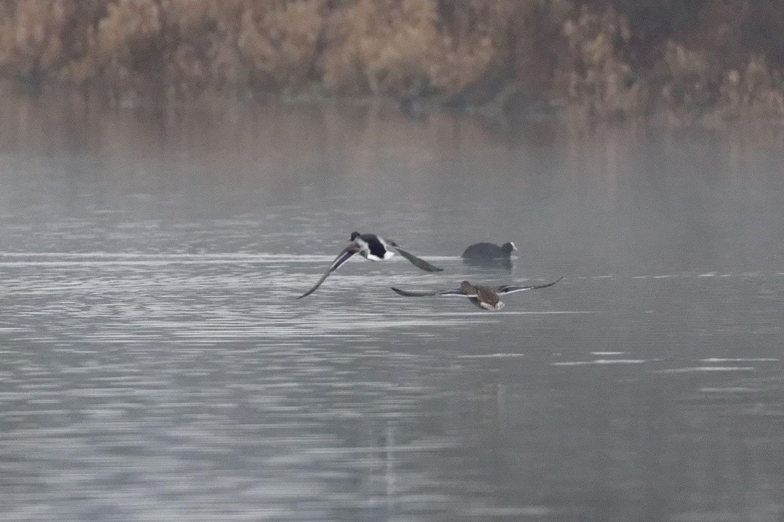 Photo 1 : 2 Colverts en fuite mais ces temps-ci ils volent beaucoup, le printemps commence de bonheur chez eux.