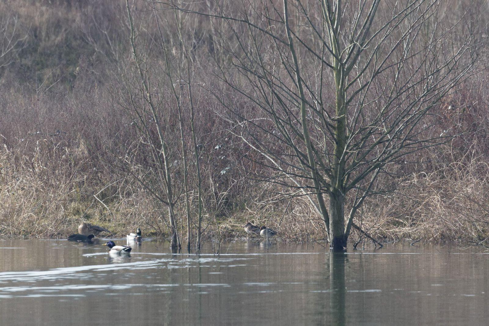 167 - 2 espèces de Pouillot à Neuilly : 07/03/2015