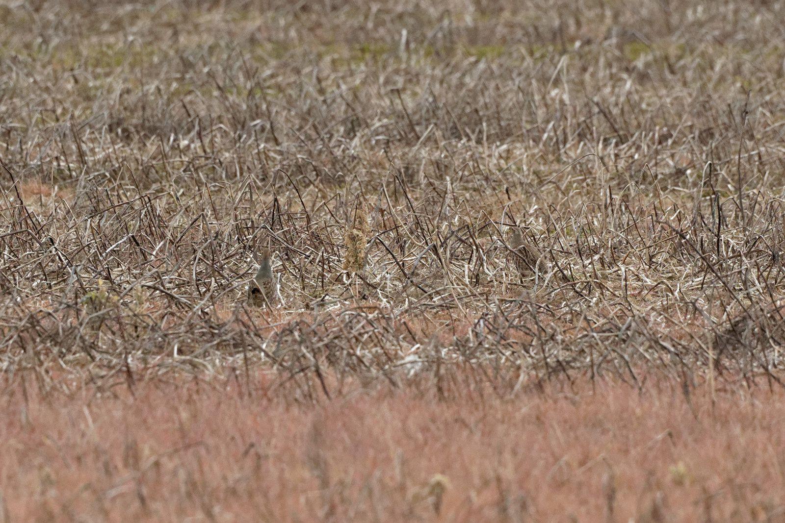 Sur la dernière, voyez-vous la deuxième Perdrix grise ? Pas évident du tout (l'agrandissement est augmenté). Leur plumage est protecteur dans ce milieu.