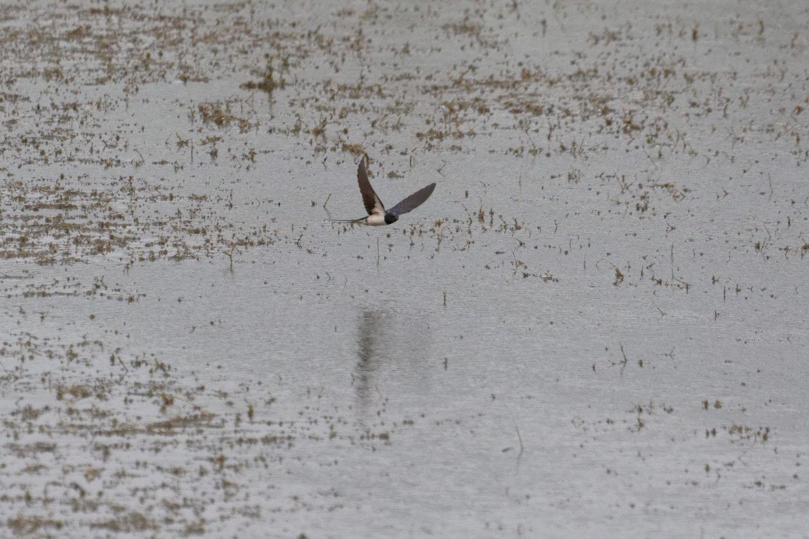 195 -  La chasse des Hirondelles : 26/07/2015
