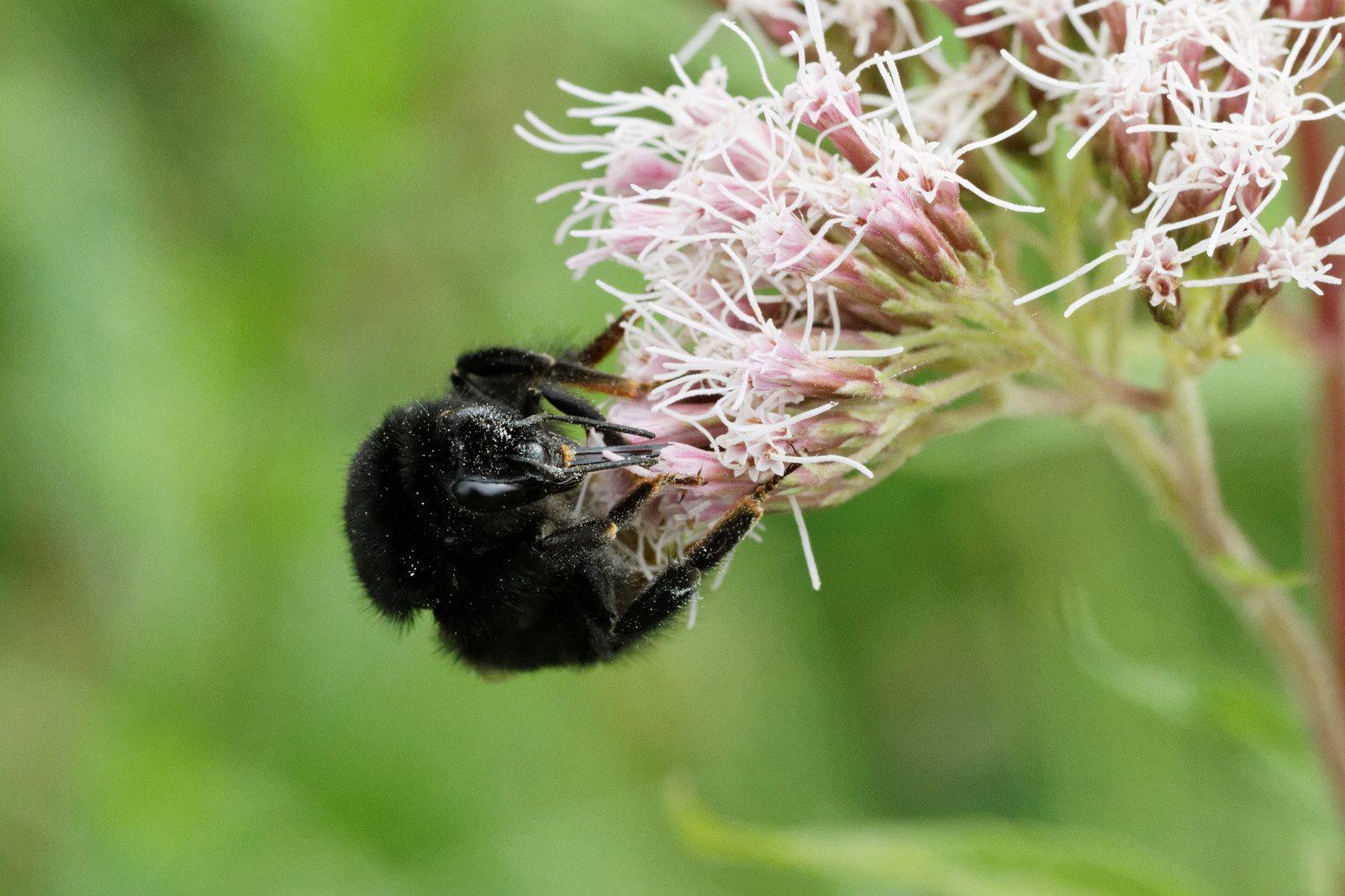 201 - Qui sont les pollinisateurs ? : 05/09/2015