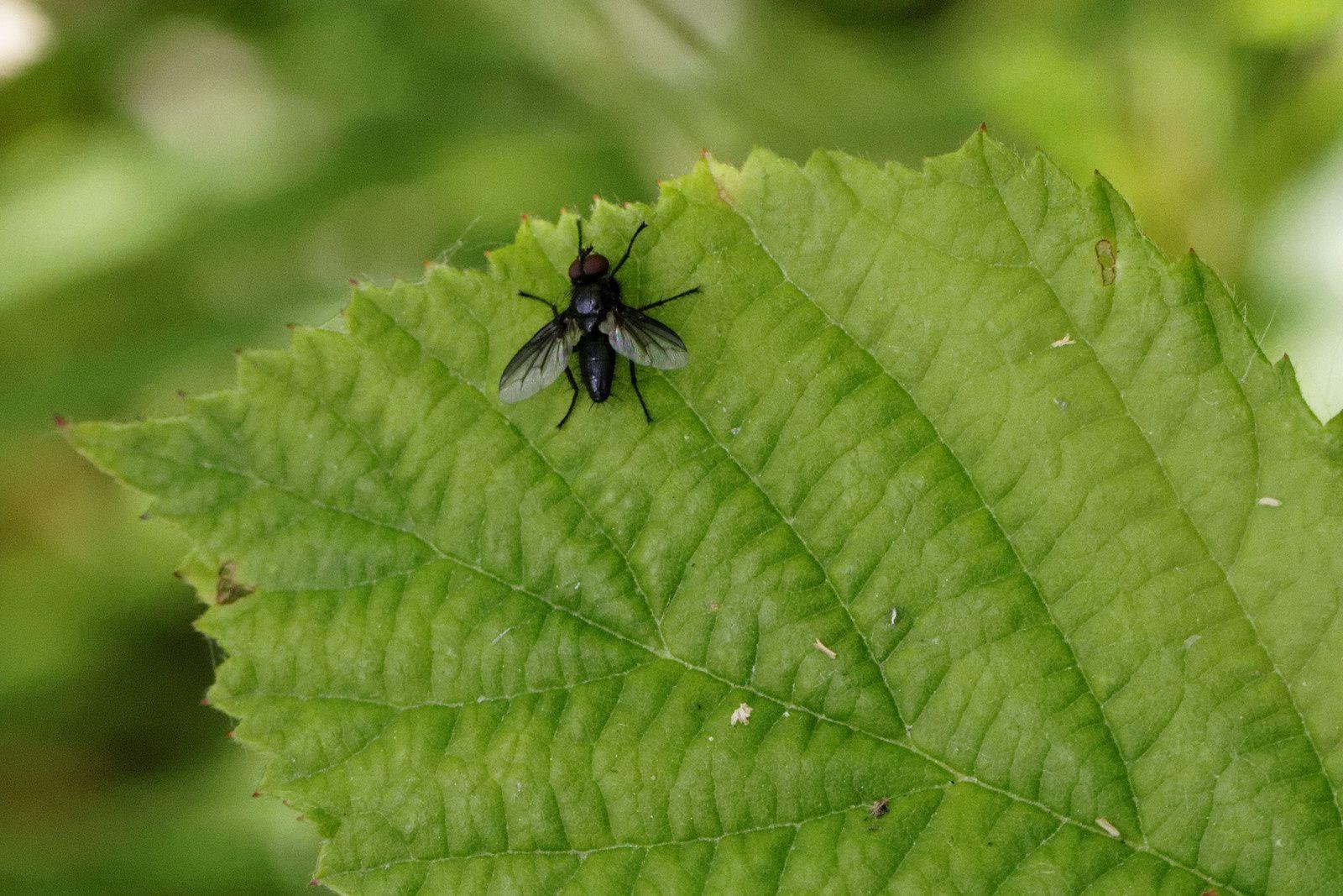 Une Mouche, espèce : Tachinide - mâle