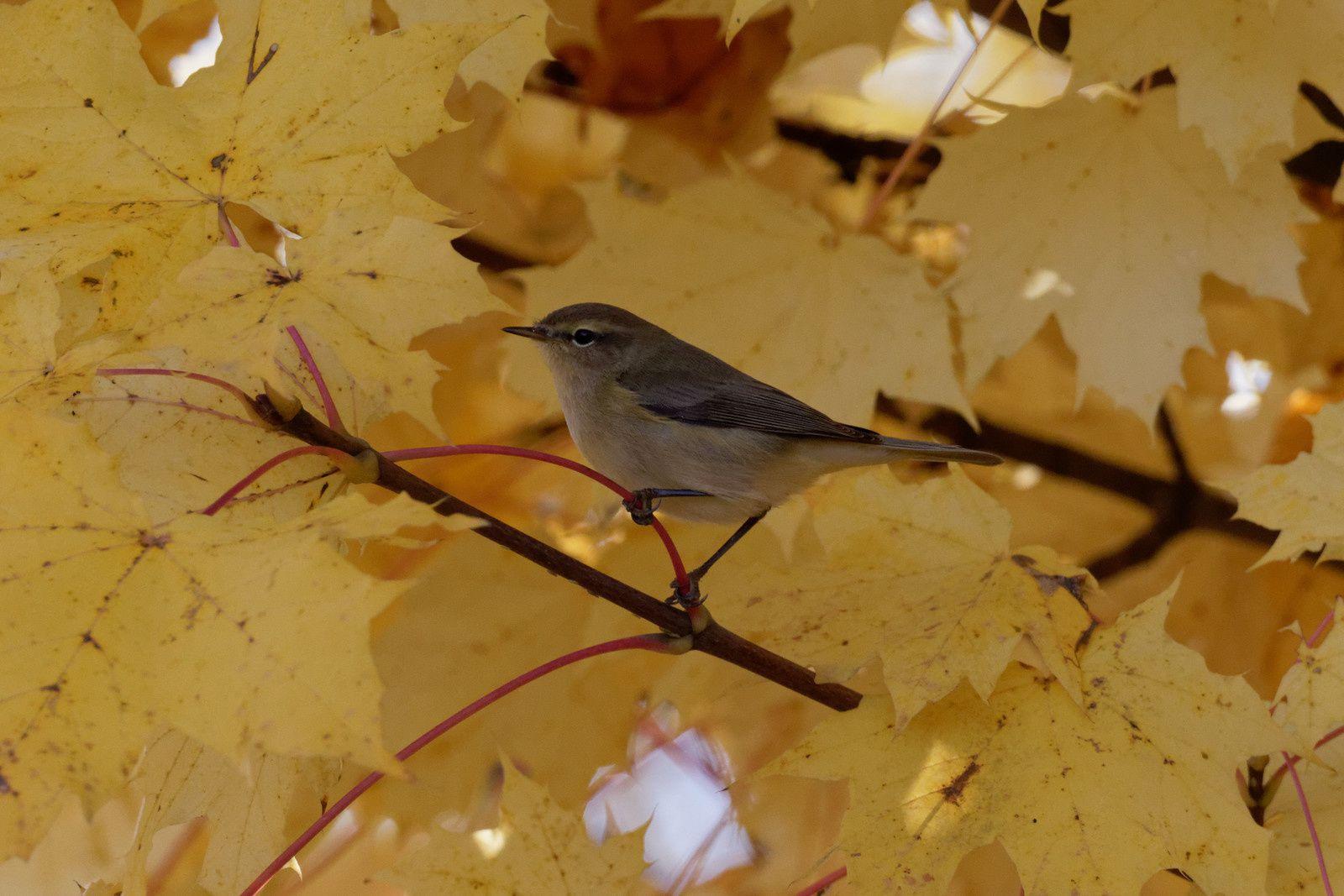 213 - Beaux et jeunes, les passereaux se laissent photographier : 31/10/2015