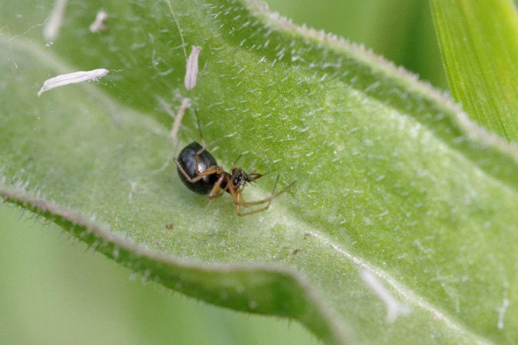 Erigone sp. (Linyphiidae) - prédation avec une Fourmi