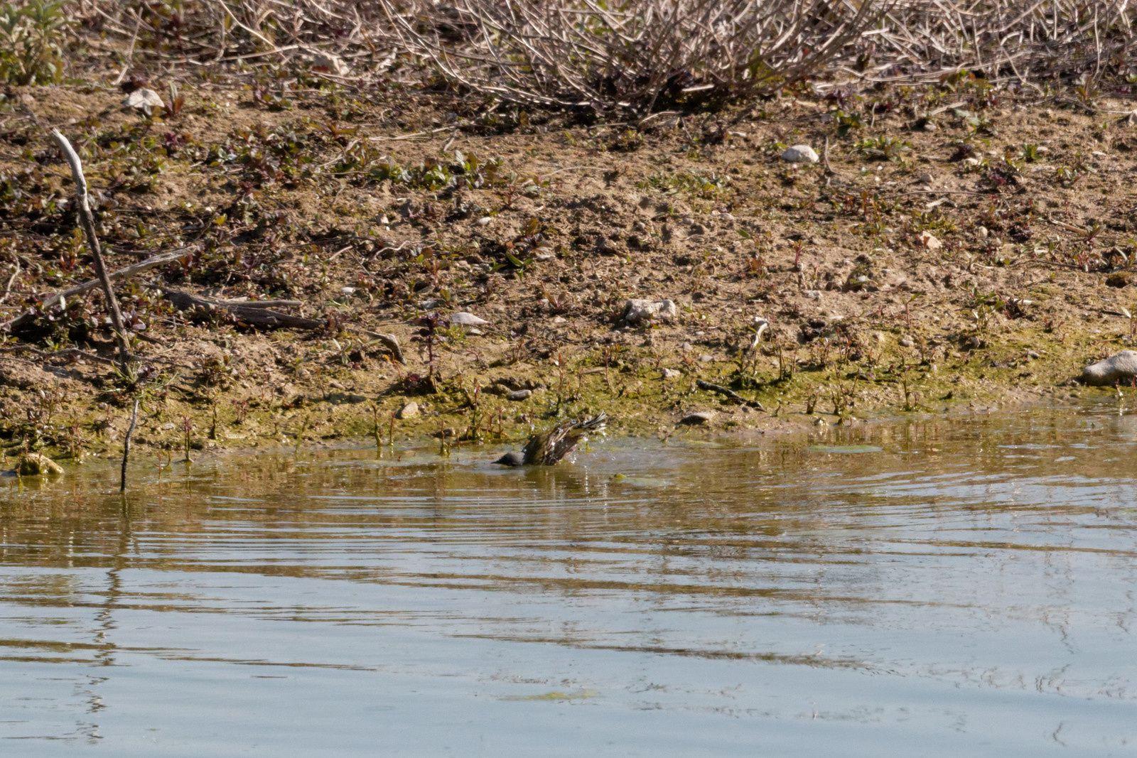 242 - Trilbardou, un bon plan pour l'ornithologie : 04/05/2016