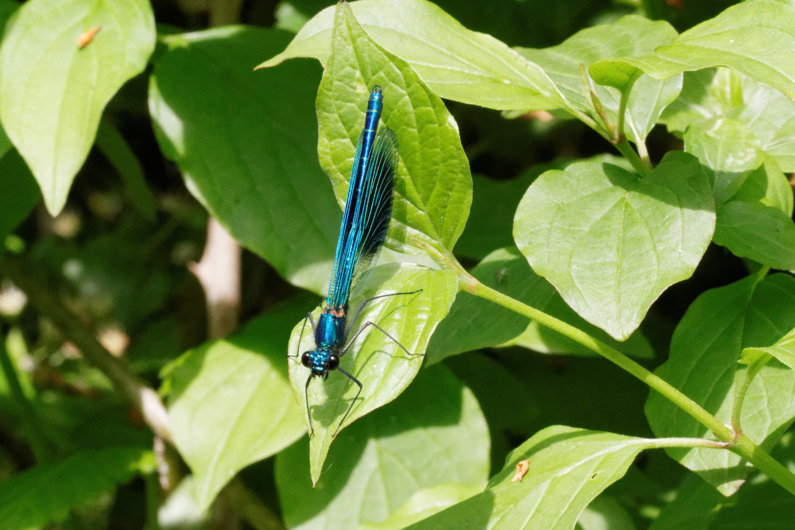 245 - Les Calopteryx vous accompagnent ! : 21/05/2016