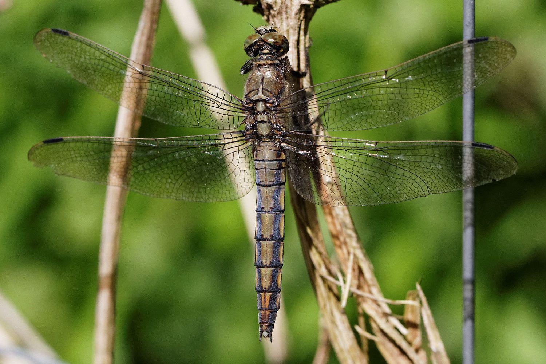 L'odonate à l'ombre est une Aeschné bleue (Aeshna cyanea)