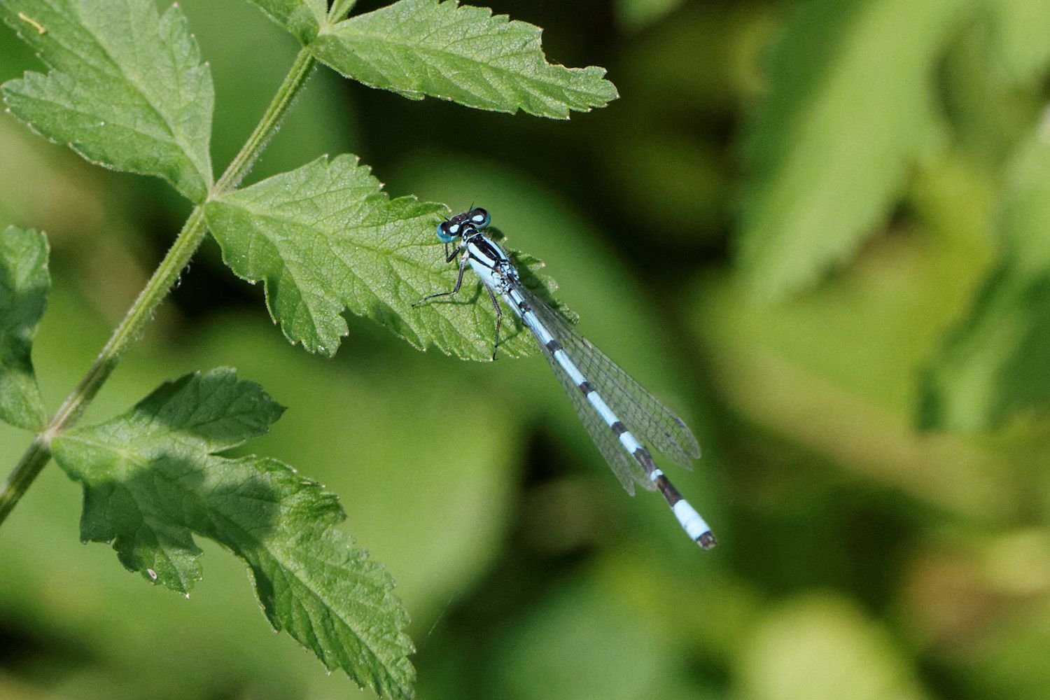 possible Agrion jouvencelle