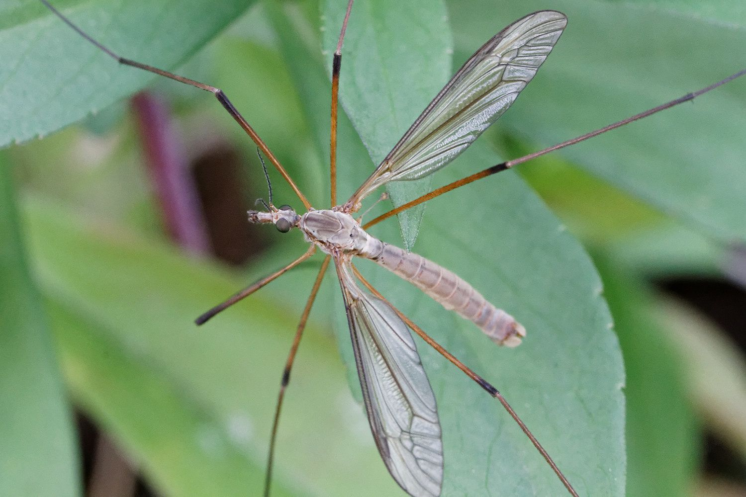 Tipula oleracea possible