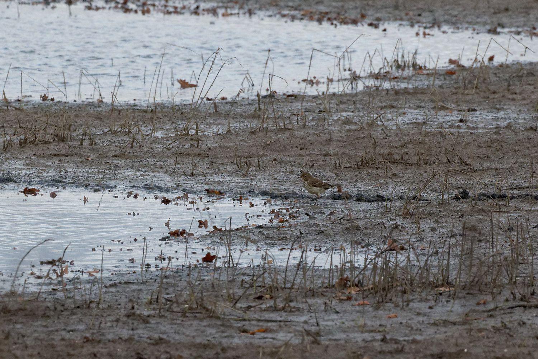 273 - Des espèces remarquables : Combattant varié, Courlis, Bécasseau à Lesches : 19/11/2016