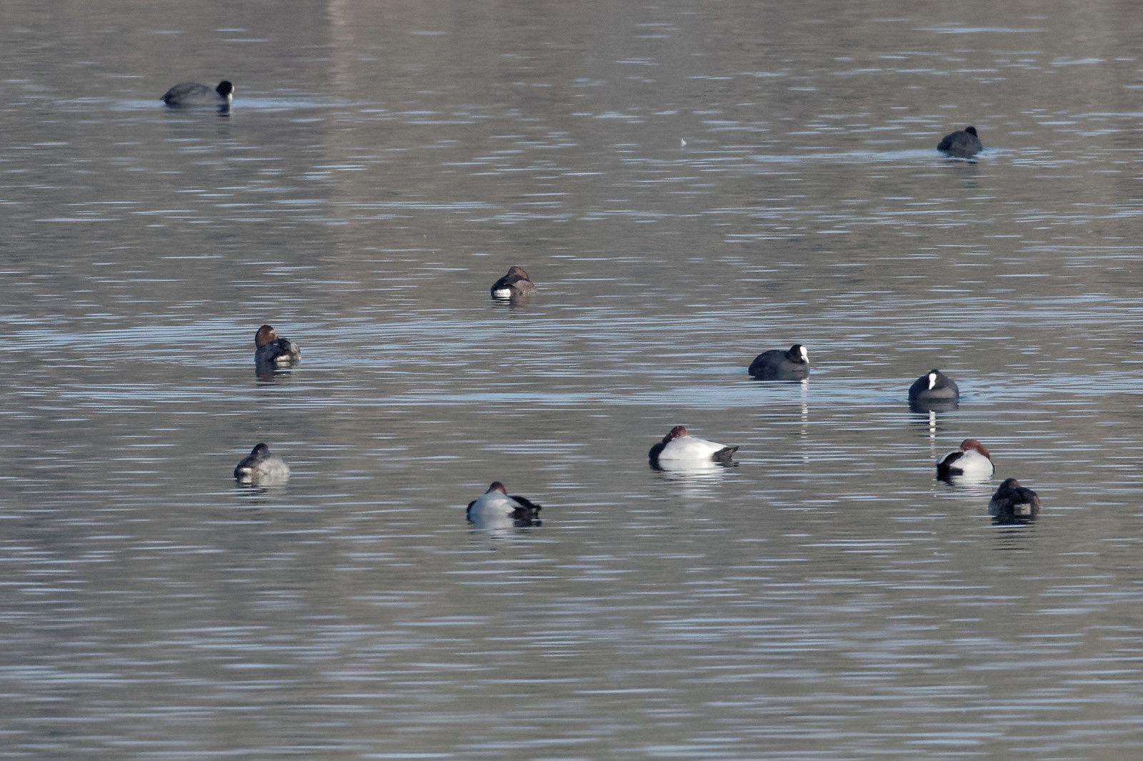 277 - Seine et Marne : 77 étendues d'eau pour accueillir de belles espèces ! : 17/12/2016