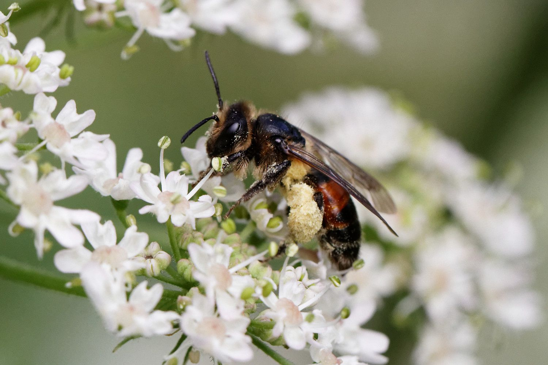 Abeille de sable - Andrena hattorfiana - femelle