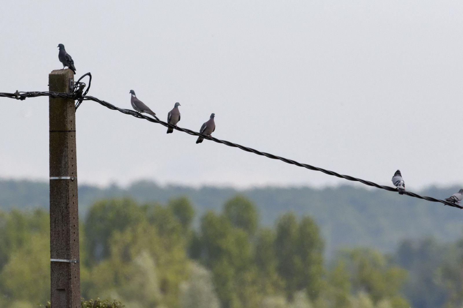 Pigeons ramiers à gauche et Pigeons bisets à droite