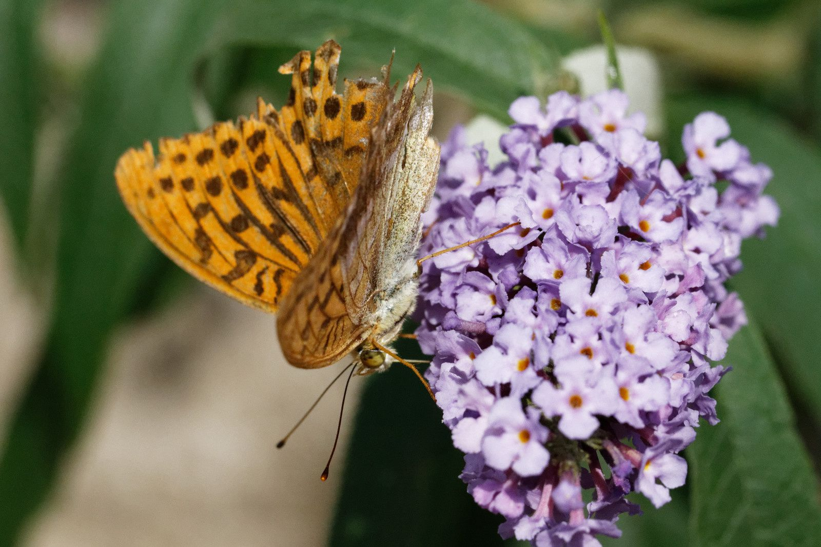 318 - La grande attraction des fleurs dans les jardins : 24/08/2017