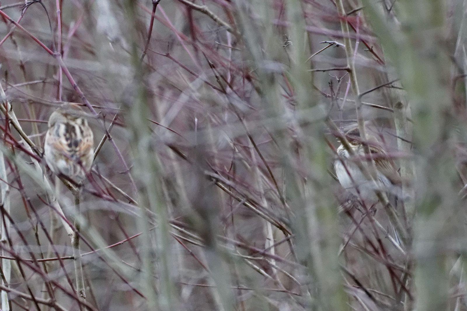 99_1 - Cygnes, Canards et Bernaches se préparent pour le printemps : 04/01/2014
