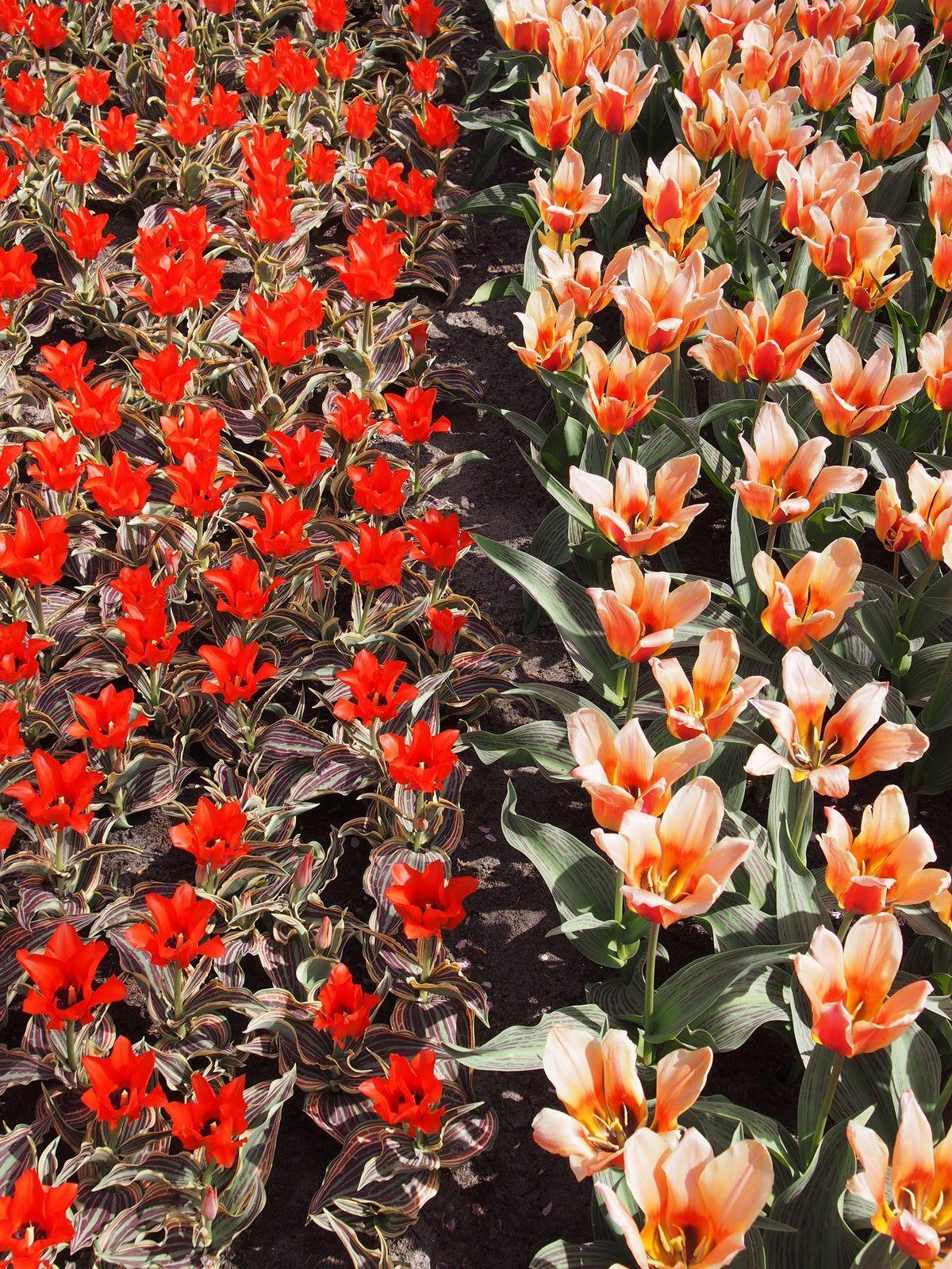 Keukenhof et les champs de tulipes